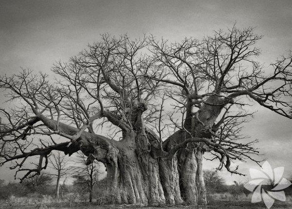 En eski ağaçlar